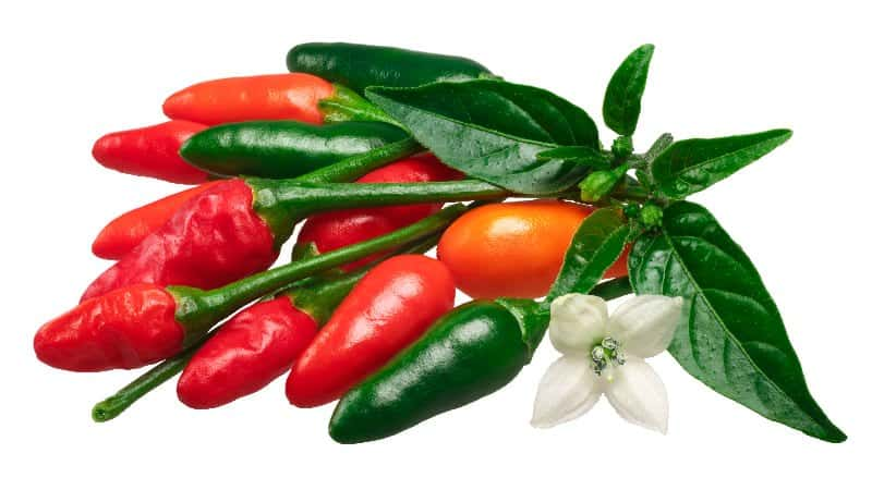 Pequin chili peppers